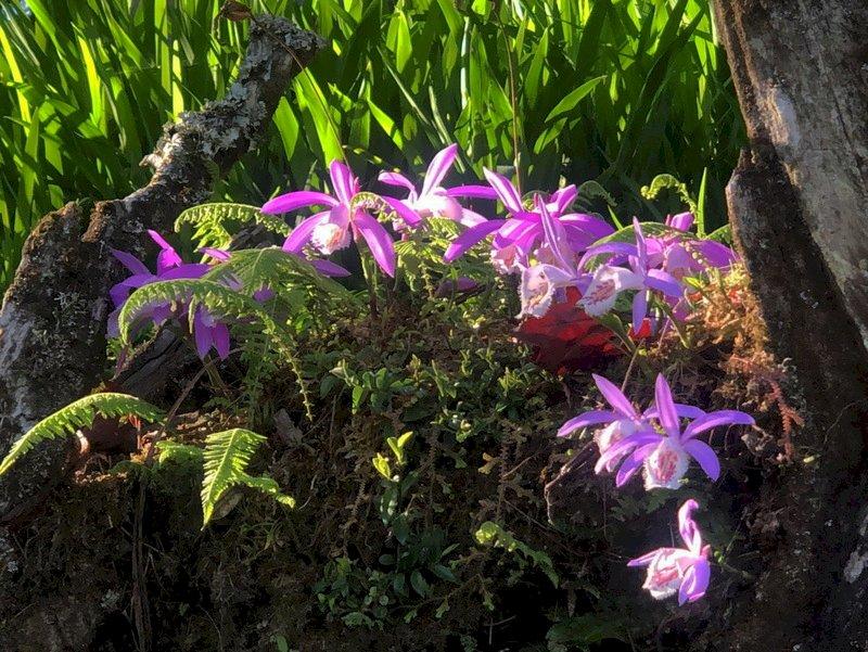Alishan est en fleur (Photo CNA)